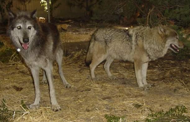 loup du canada et d'europe